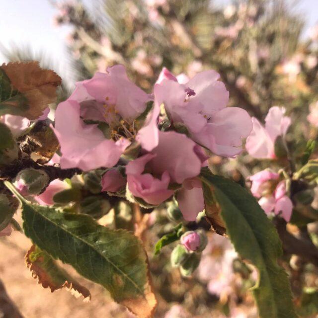 モロッコのアーモンドの花