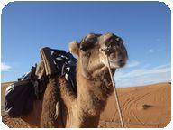 らくだ,モロッコ,砂漠
